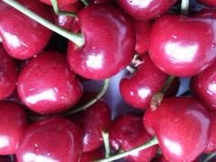 吉塞拉樱桃小苗多少钱,专业供应吉塞拉樱桃苗