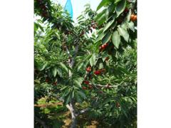 6号吉塞拉五年成品小苗_哪里能买到品种好的吉塞拉五年成品树