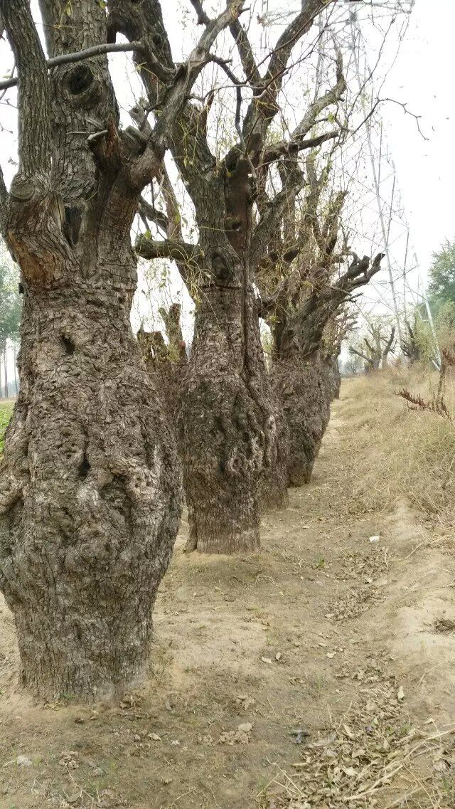 种植古枣树-供应河南品种好的古枣树