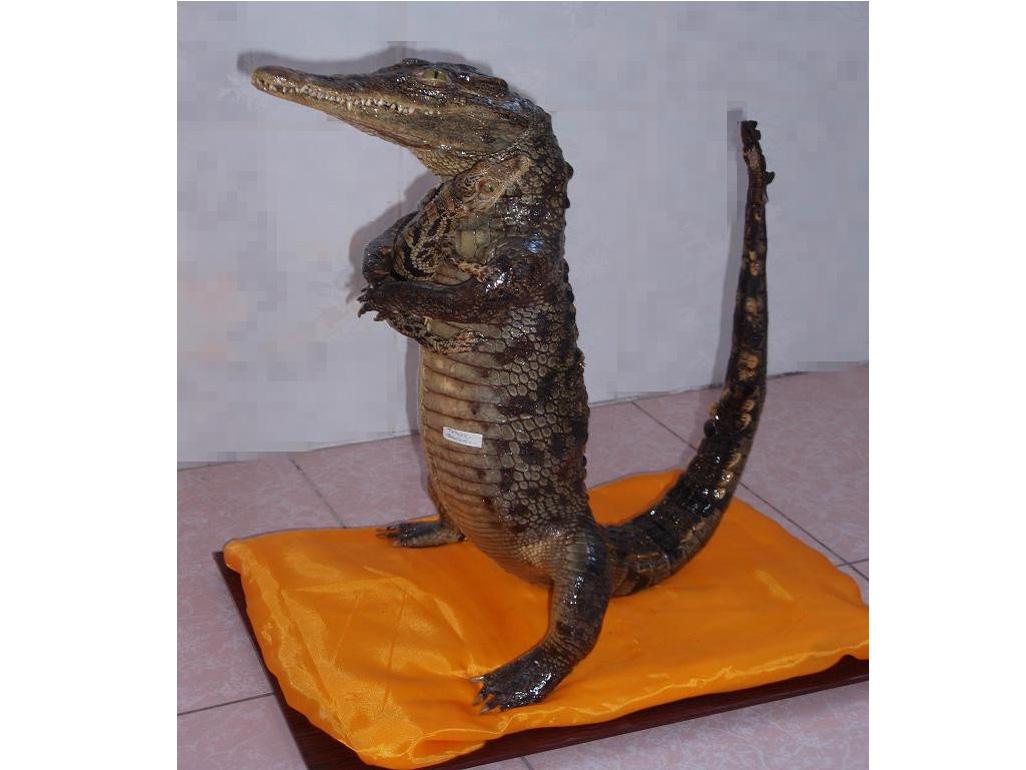 青岛动物标本鳄鱼标本厂家/鳄鱼标本出售价格