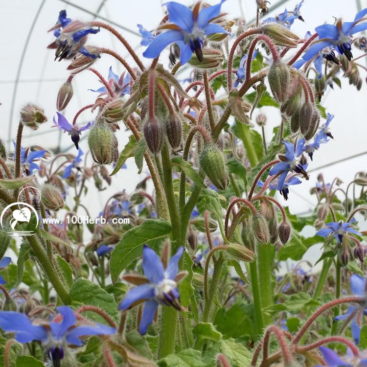 紫草科芳香植物琉璃苣种子批发