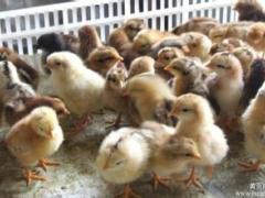 买柴鸡苗就到聊城水城孵化,成活率高好养殖的柴鸡苗就在水城孵化