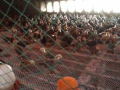 买好养殖的脱温鸡就到聊城水城孵化,价格便宜没得比