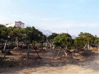 造型景观松专业供应商,景松基地