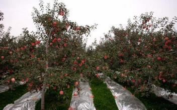 【山东】【河北】苹果反光膜//苹果高亮度反光膜//