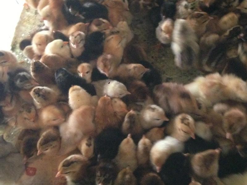 曹县柴鸡苗价格,柴鸡苗养殖基地批发,量大从优。