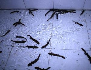 衡水有品质的草鱼鱼苗供应|安徽淡水鱼苗