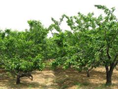 【绿丰】 烟台大樱桃苗种植  烟台大樱桃苗批发 烟台大樱桃树