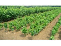 【绿丰】烟台大樱桃苗木基地  烟台大樱桃苗种植  烟台大樱桃
