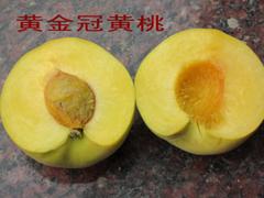 山东较大的黄金冠桃树苗基地春季促销——低价好苗临沂华春苗木!