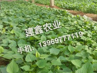 山东产量高的济薯21_哪里有供应济薯21种苗