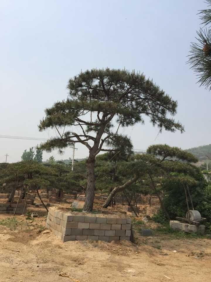 供应山东至好的造型黑松,造型景观松树报价
