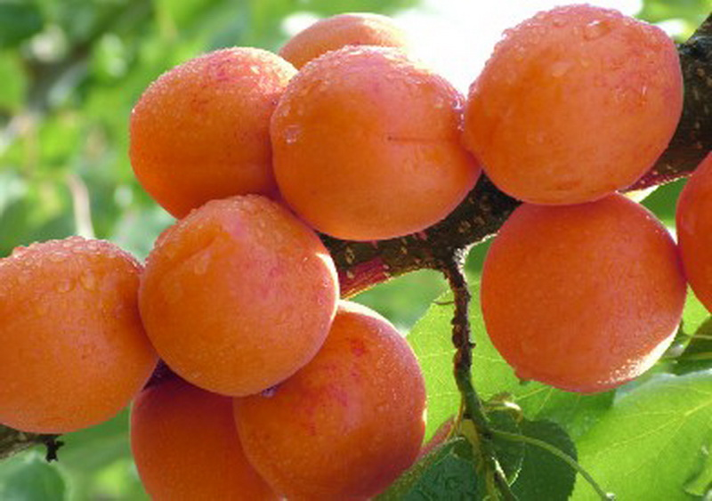 金太阳杏价格||金太阳杏批发||金太阳杏供应